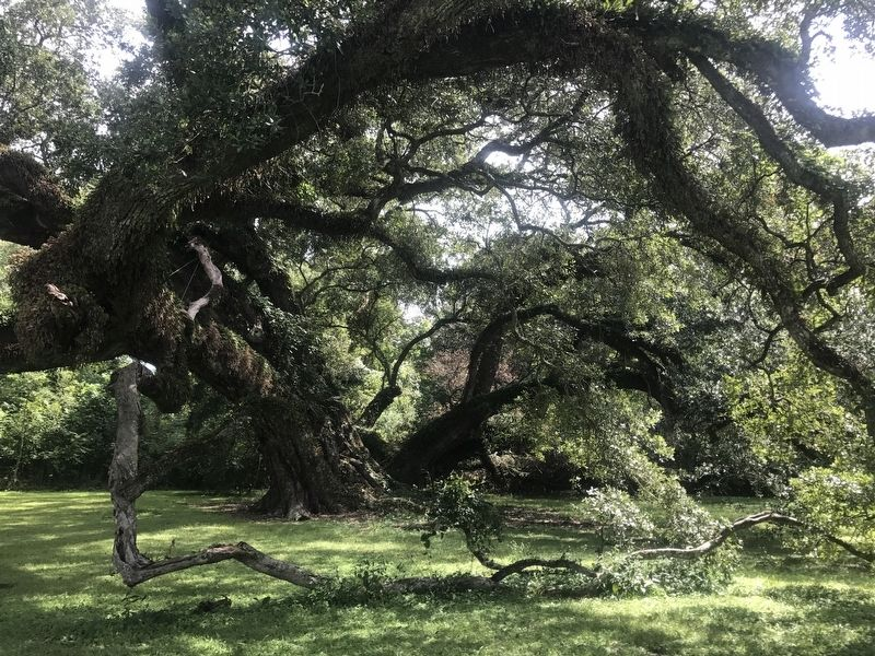 Seven Brothers Oak image. Click for full size.