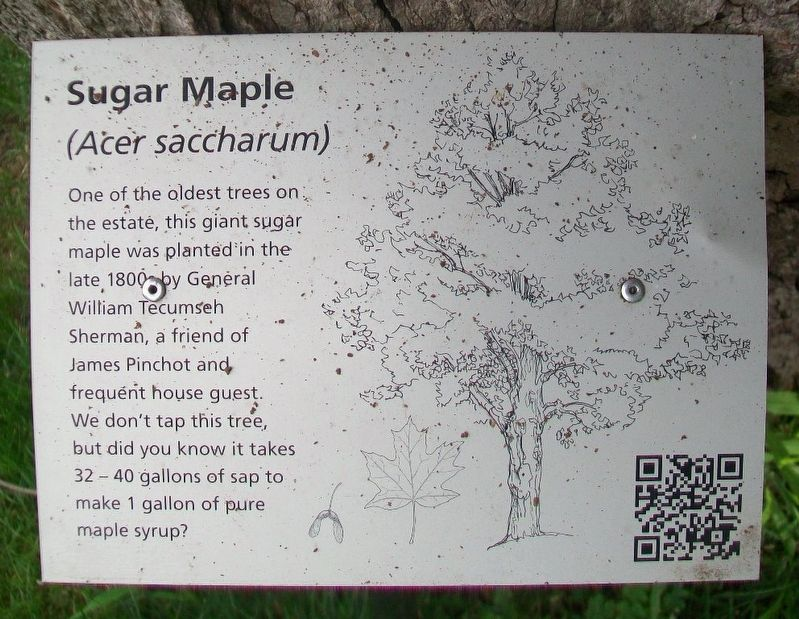 Sugar Maple Marker image. Click for full size.