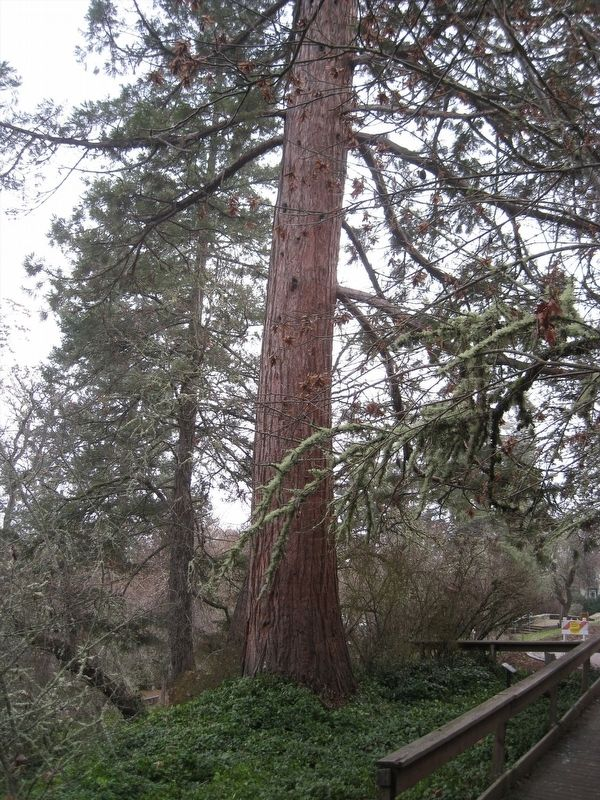 Britt Sequoia image. Click for full size.
