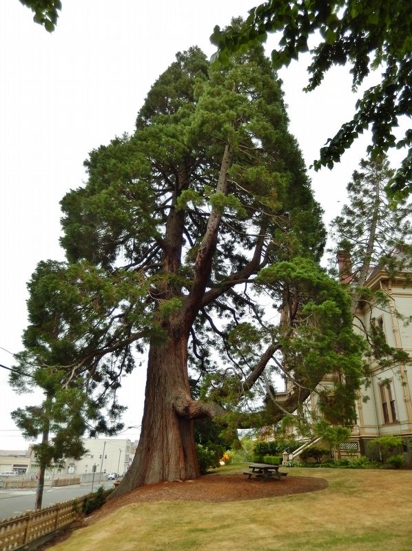 Giant Sequoia Tree on North Side of Flavel House image. Click for full size.