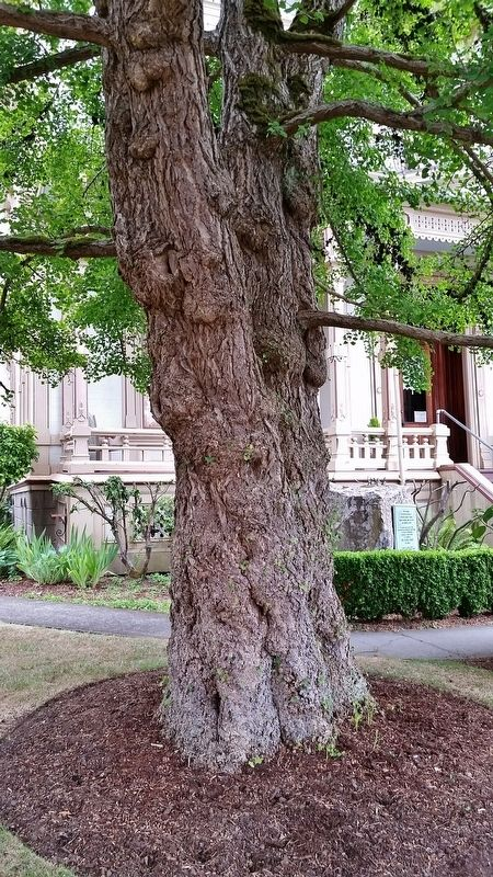 Giant Ginko Tree on East Side of Flavel House image. Click for full size.