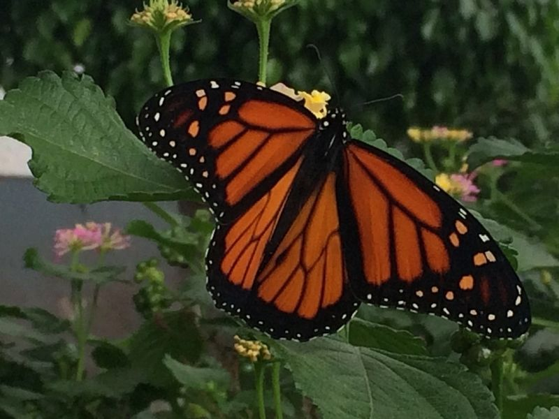 A monarch butterfly seen at the Autonomous University of Querétaro image. Click for full size.