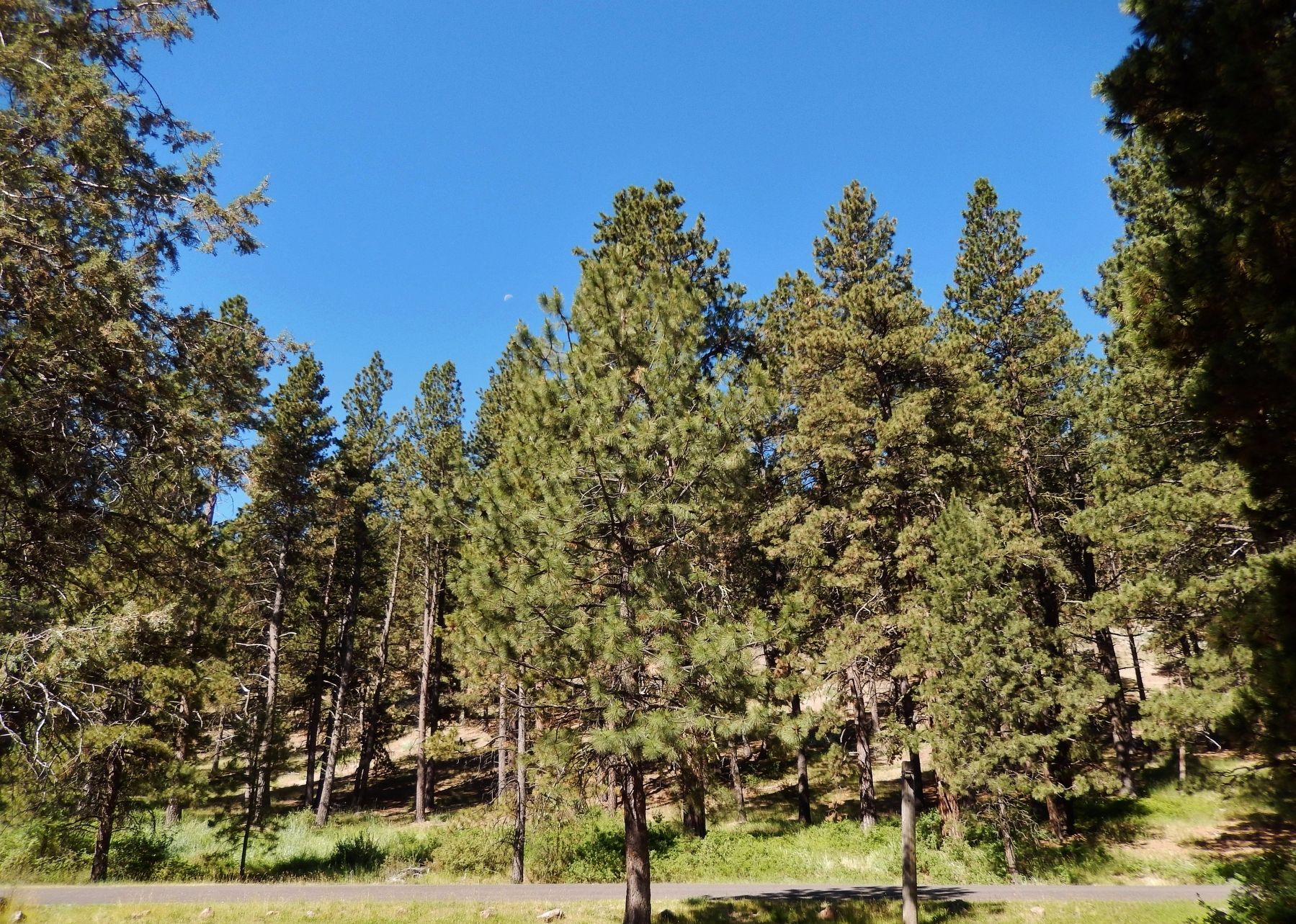 Ponderosa Pine Trees at Chandler State Wayside image. Click for full size.