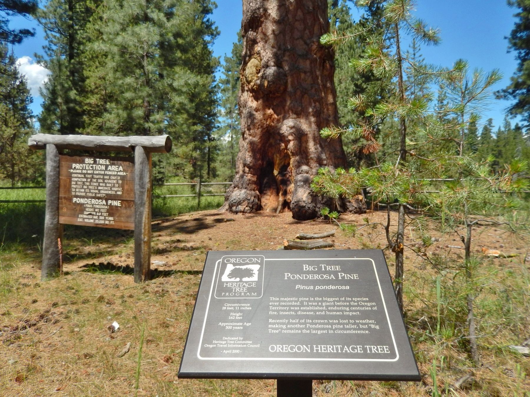 Big Tree Ponderosa Pine Marker (<i>wide view</i>) image. Click for full size.