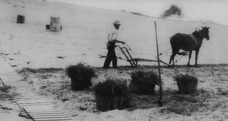 Marker detail: Planting grass to stabilize Big Kill Devil Hill image. Click for full size.