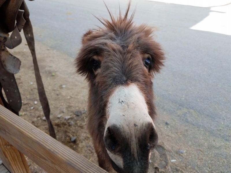 Oatman, Arizona Burro image. Click for full size.