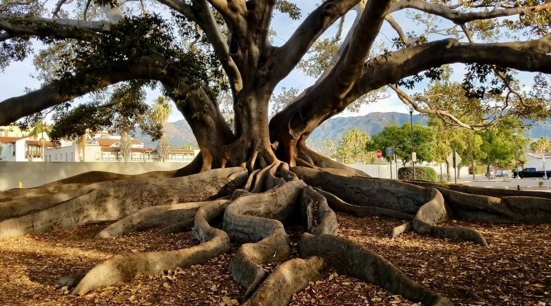 Moreton Bay Fig Tree image. Click for full size.