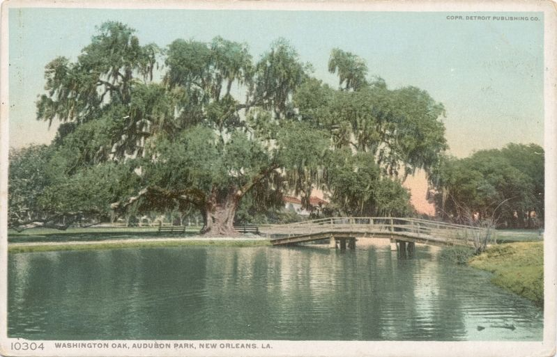 <i>Washington Oak, Audubon Park, New Orleans, La.</i> image. Click for full size.