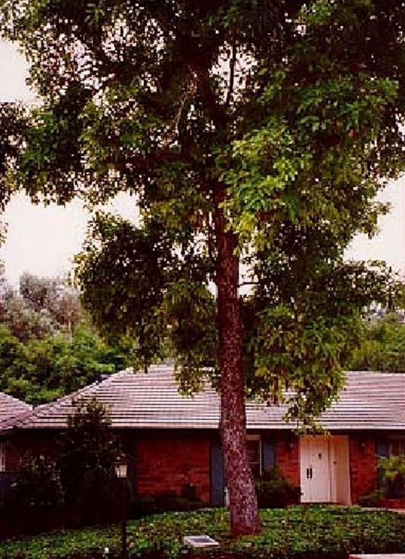 The Original Hass Avocado Tree and Marker image. Click for full size.