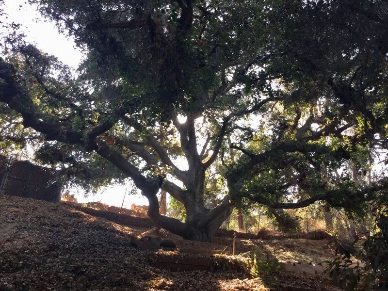 Old Oak Tree image. Click for full size.