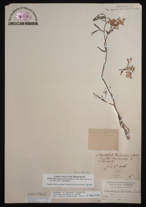 Original specimen of the Clarkia pulchella, preserved by Lewis image. Click for full size.