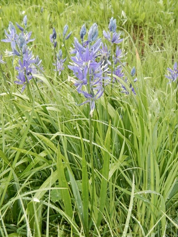 Camas image. Click for full size.