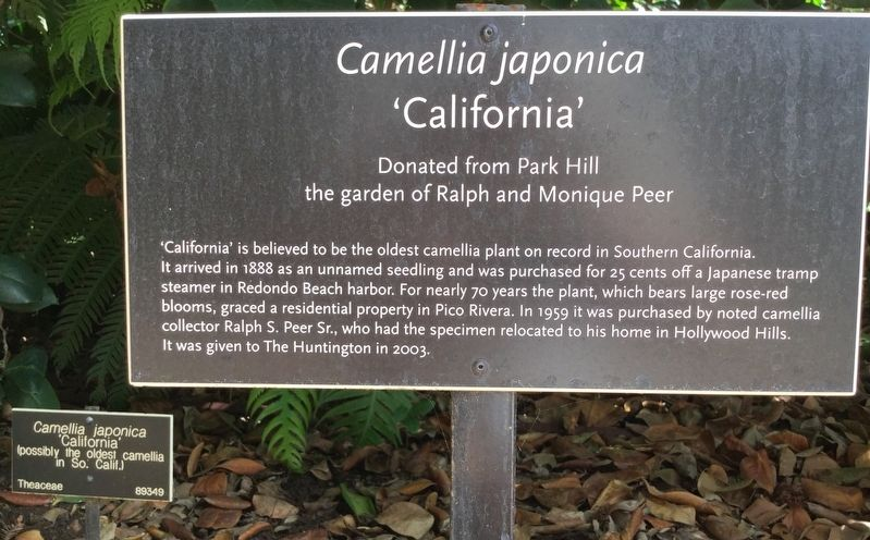 Camellia Japonica 'California' Marker image. Click for full size.
