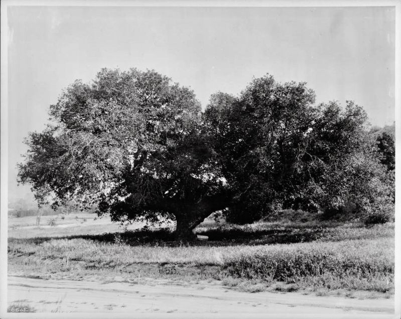 The Historic Oak Tree image. Click for full size.
