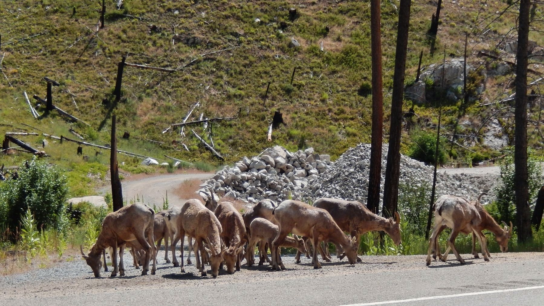 Big Horn Sheep wandering along highway, near marker image. Click for full size.