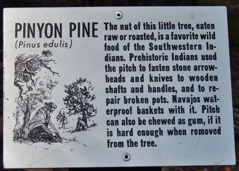 Pinyon Pine Marker image. Click for full size.