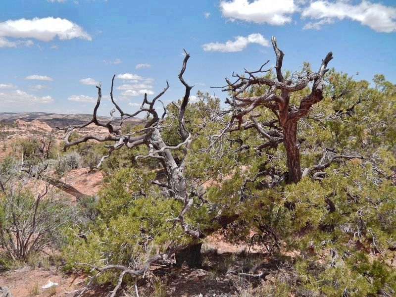 Pinyon Pine (<i>Pinus edulis</i>)<br>(<i>located beside the trail, near marker</i>) image. Click for full size.
