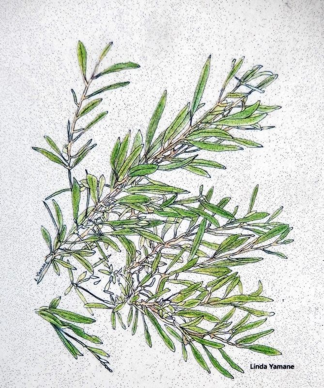 Marker detail: Arroyo Willow image. Click for full size.