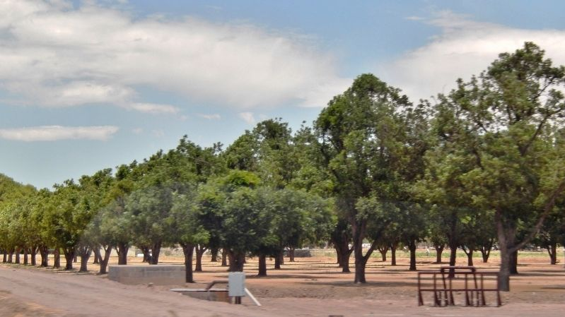 Pecan Orchard Irrigated from Rio Grande River image. Click for full size.
